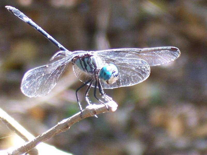 Odonates de la Martinique [Micrathyria didyma] 100_6115