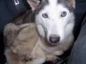 PRINCESSE - femelle husky 12 ans DECEDEE - Page 3 Covoit12