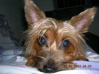 Silky Terriers - Small Dog with Big Heart Dscn2010