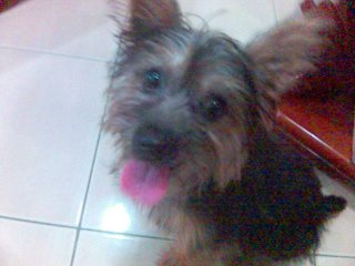 Silky Terriers - Small Dog with Big Heart Germai10