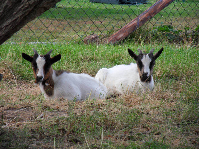 New family members Goats110