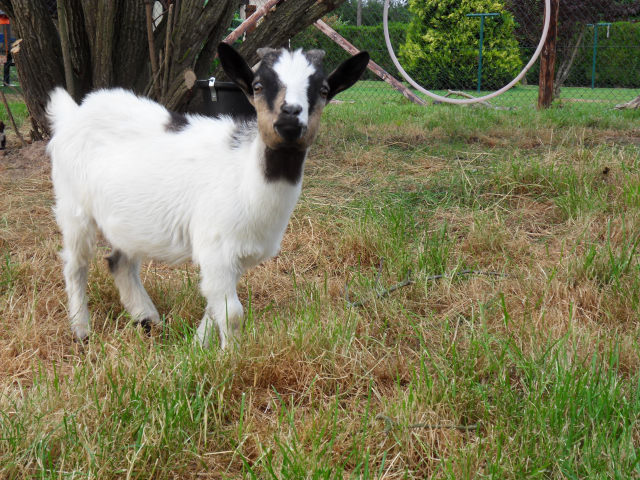 New family members Goats111