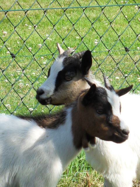 New family members Goats210
