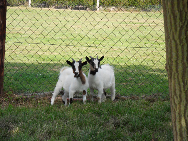 New family members Goats410