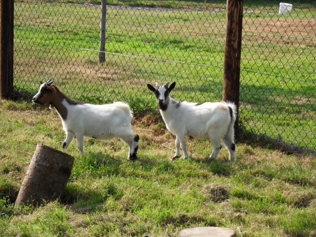 New family members Goats510