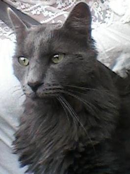 Perdu à Colomiers chat gris angora Untitl10