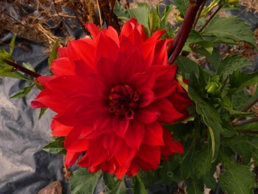 Dahlia - Page 2 Fleur111