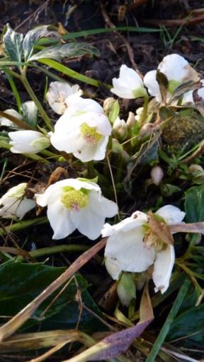 Helleborus niger ou Rose de noel ou Hellebore - Page 6 P1010116