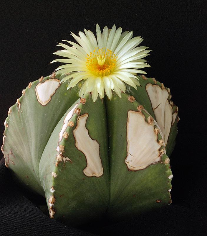 Astrophytum_myriostigma  Astrop15