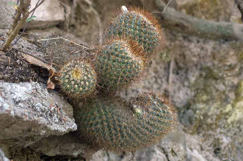 Mammillaria rhodantha? Pachuca, Hidalgo, Mexico 2012-010