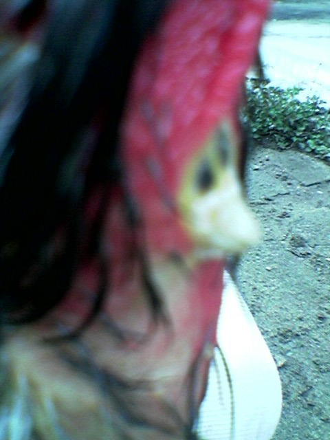ayam memiliki jalu di leher  Trio_j12