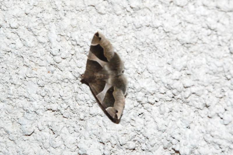 papillon de nuit dans le Var Papill10