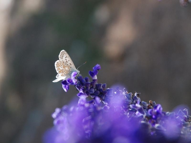 petit papillon bleu Papill14