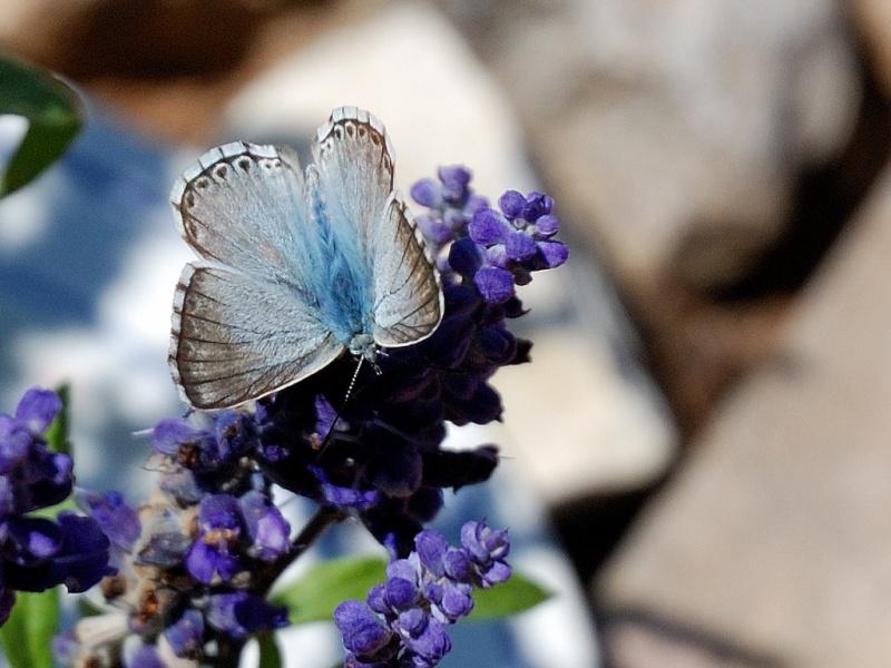 petit papillon bleu Papill15