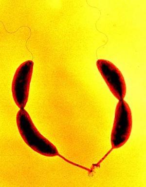 البكتيريا لانتاج أقوى مادة لاصقة!! 06041115