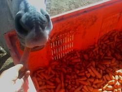 Cenouras para cavalos 14102011