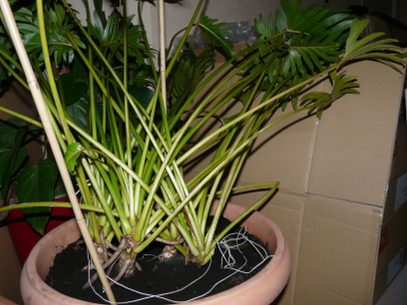 Philodendron  bipinnatifidum ? P1010513