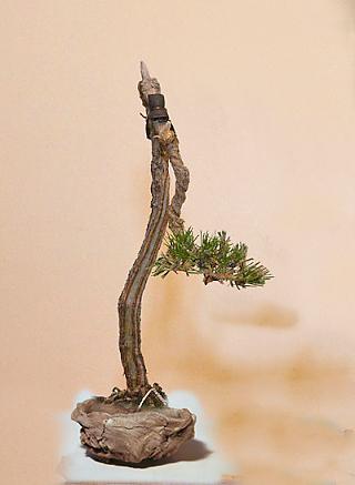 Literati Black Pine from Australia Litera11