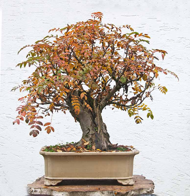 Rarely seen in bonsai: Sorbus Aucuparia R2c_1512