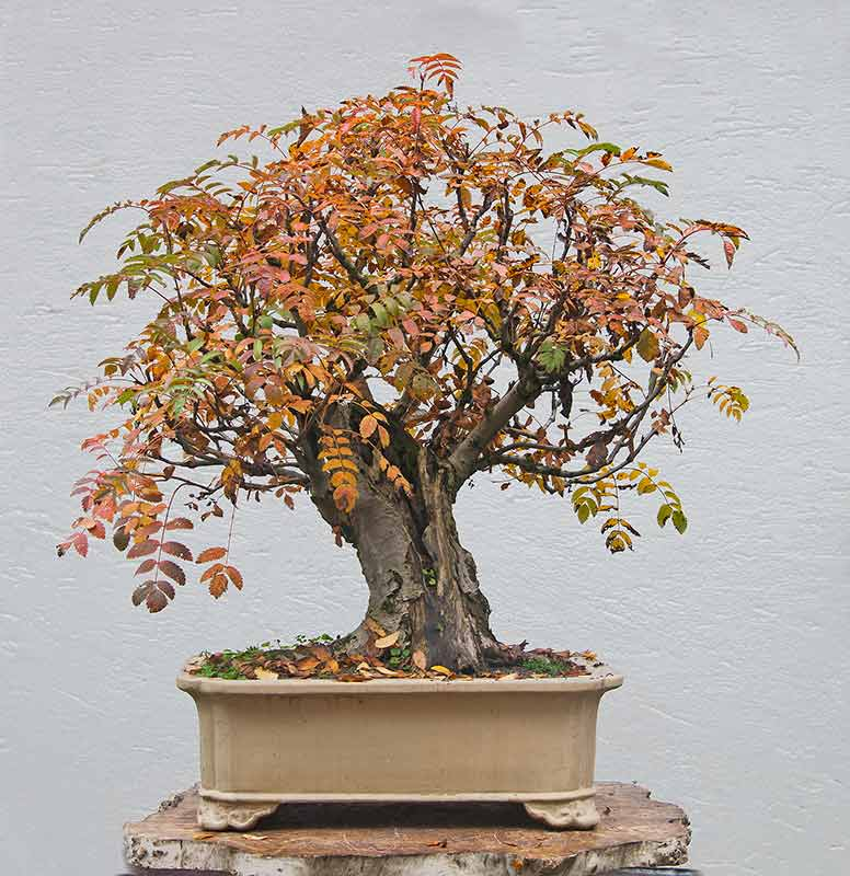 Rarely seen in bonsai: Sorbus Aucuparia R2c_1515