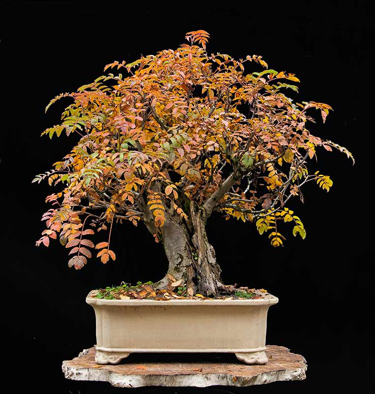 Rarely seen in bonsai: Sorbus Aucuparia R2c_1518