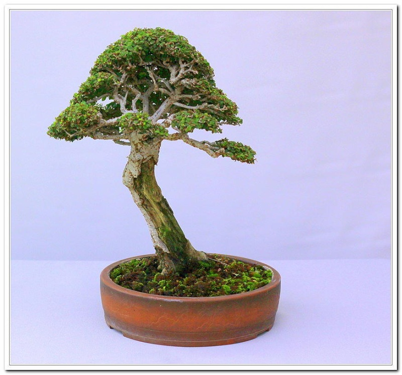 Chinese Elm 1996 - Present Bons2110