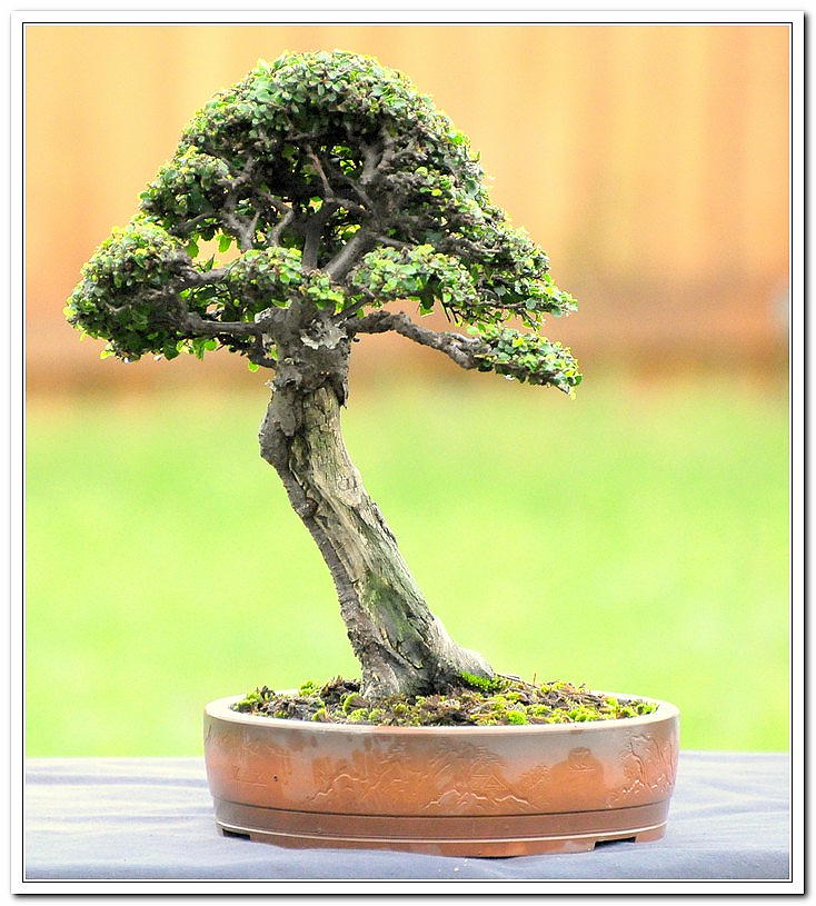 Chinese Elm 1996 - Present Celm2110
