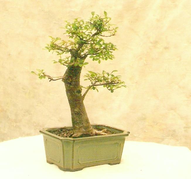 Chinese Elm 1996 - Present Velm10