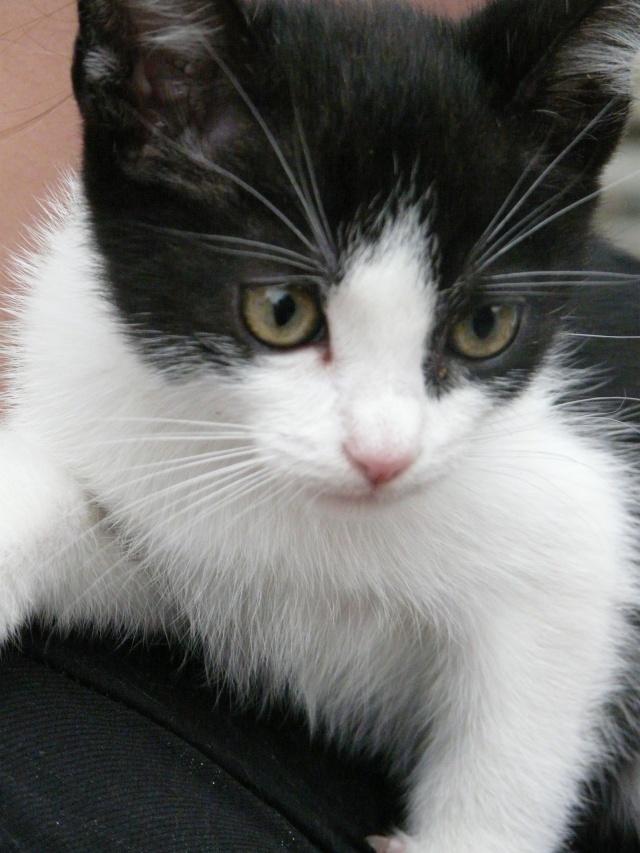 Tara, chaton noir et blanc P1060216