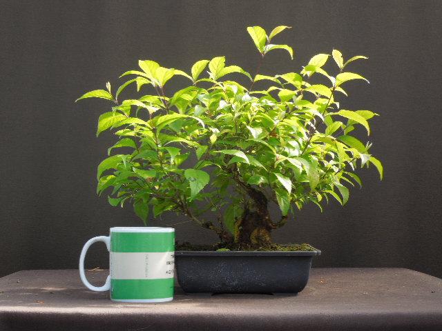 Callicarpa japonicum Dscn1612