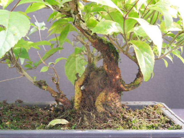 Callicarpa japonicum Dscn1613
