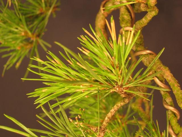 Pine Problem Img_0612