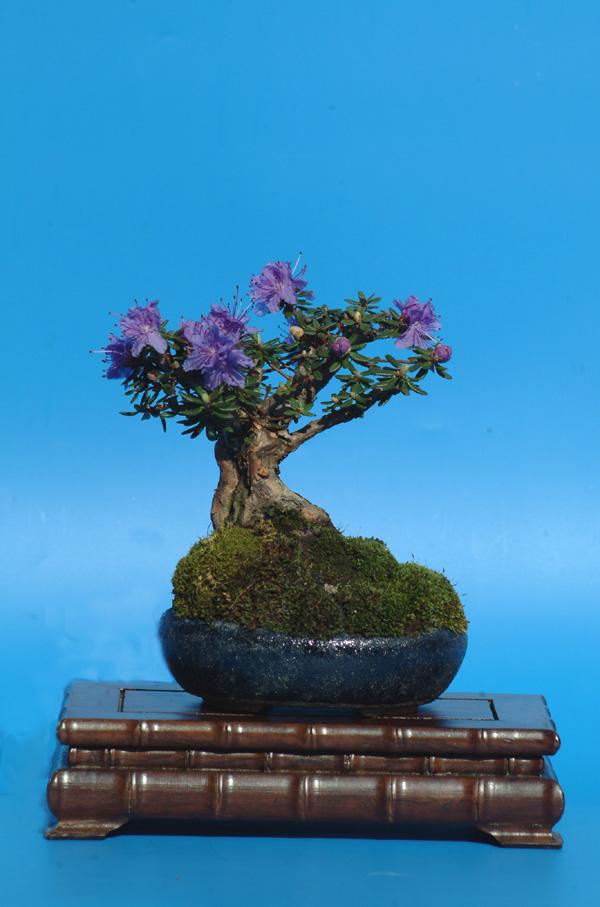 Azaleia Azul-Rhododendron Blue Diamond Spring10