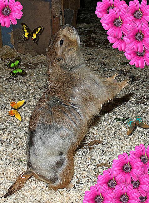 ♥♥♥ Mes petits n'amours de chiens de prairie, avec leurs demi-frères... ♥♥♥ - Page 4 Copie_18