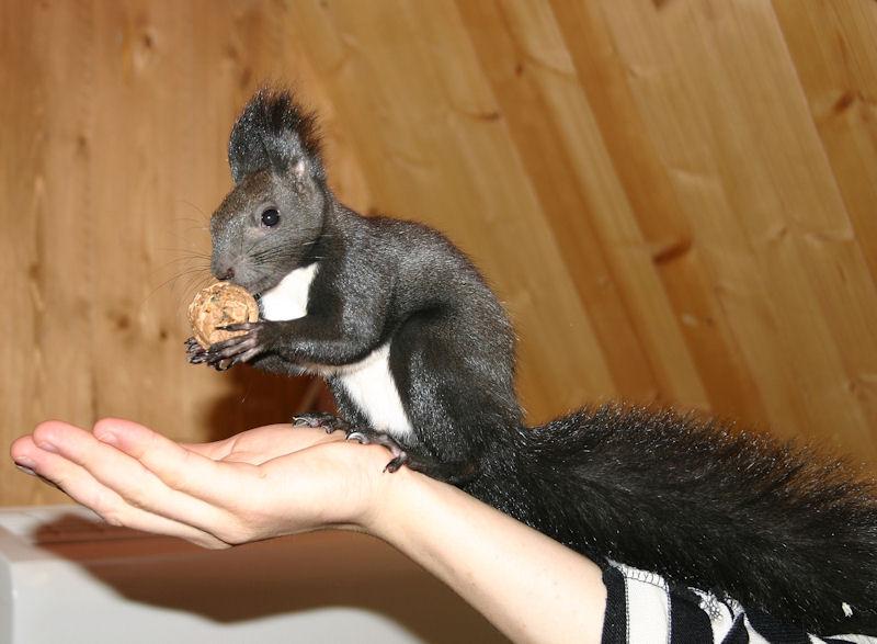 ♥♥♥ Photos et vidéos de Vanille et Chocolat,écureuils Japonais à ventre blanc... et de leurs frères et soeurs poilus ! ♥♥♥ - Page 5 Copie_24