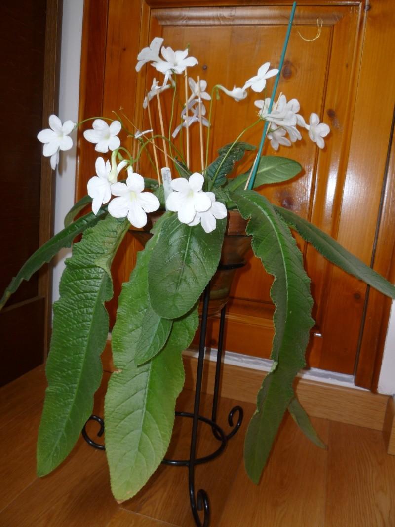 Streptocarpus - le genre Strept10