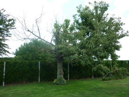 Pauvre cerisier P1010514