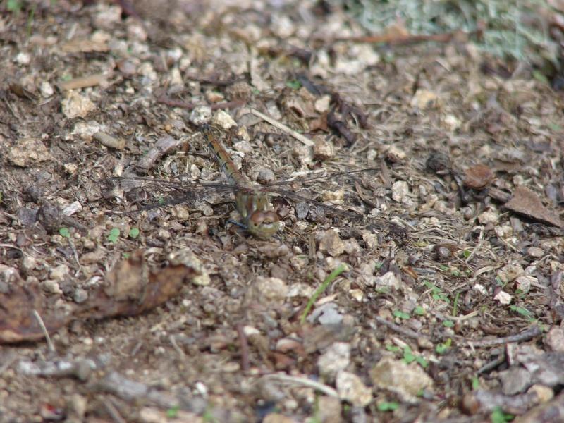 [Sympetrum striolatum] confirmation identification libélulles Orthat10
