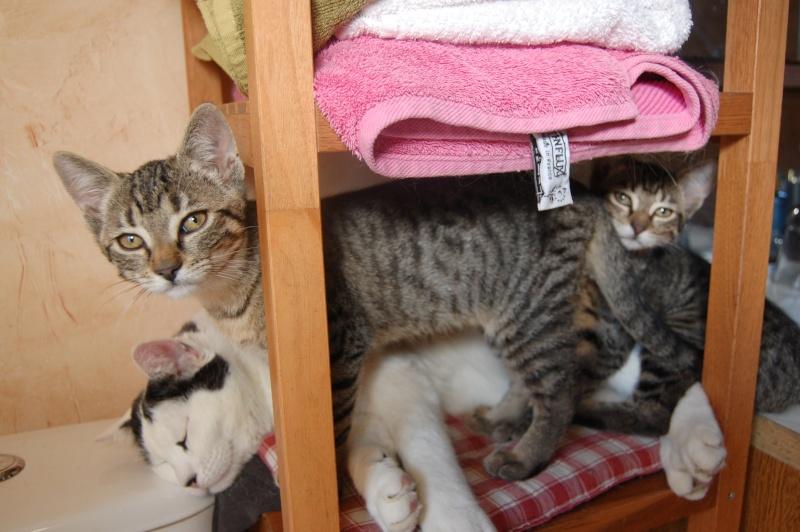 HERMIONE et CASSIOPEE, chatonnes tigrées, nées mi-mai (60) Dsc_0027