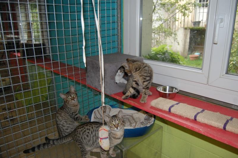 HERMIONE et CASSIOPEE, chatonnes tigrées, nées mi-mai (60) Dsc_0057