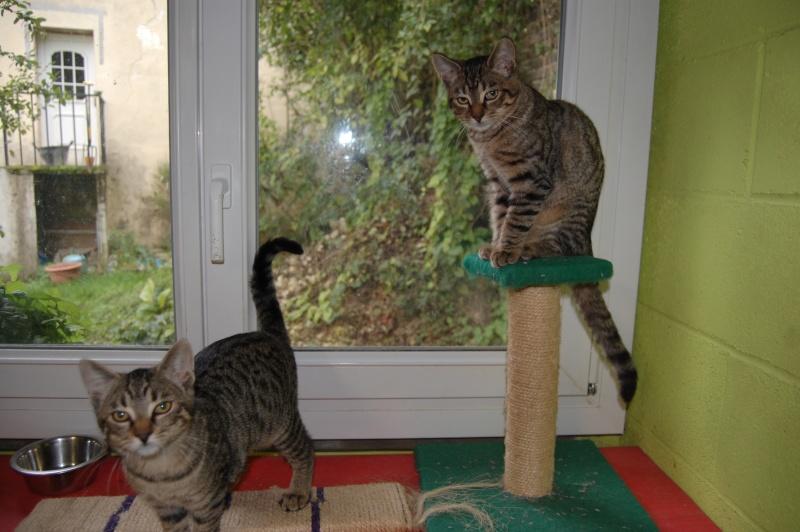 HERMIONE et CASSIOPEE, chatonnes tigrées, nées mi-mai (60) Dsc_0058