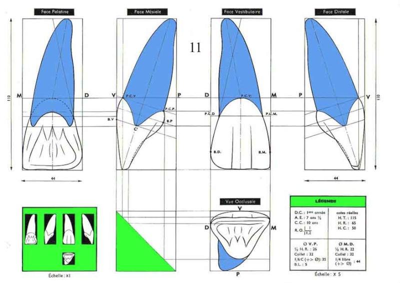 Dessins morphologiques des dents [Planches] 1110