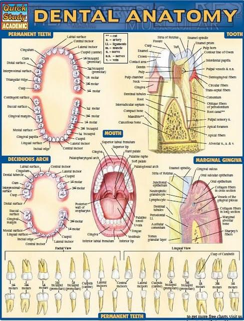 Dental anatomy [Schèmas]  Sans_t19