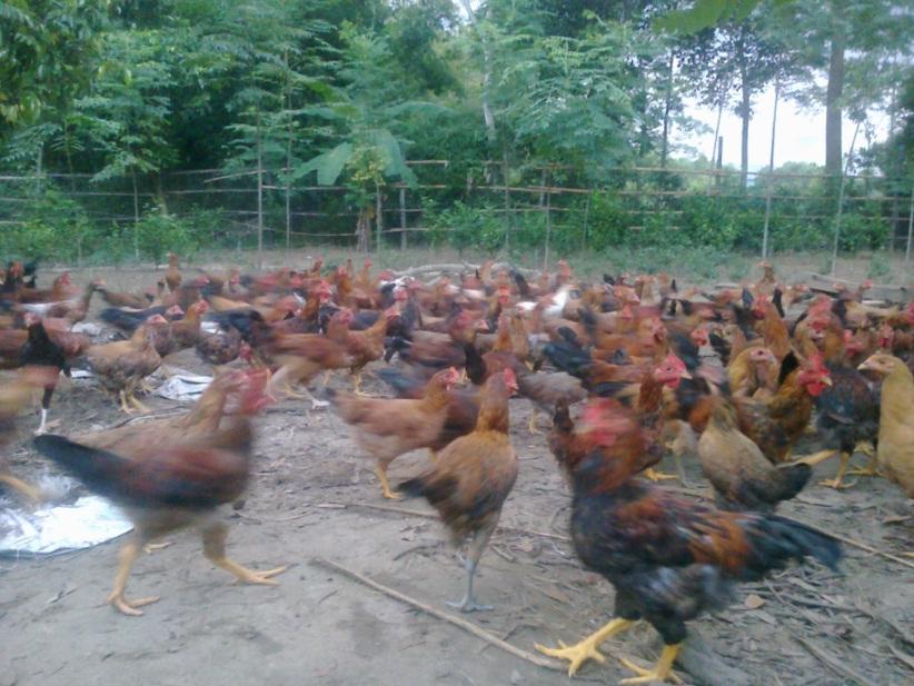 Trang trại gà vườn, chuyên cung cấp gà vườn tại huyện Qùy Hợp - Nghệ An 111