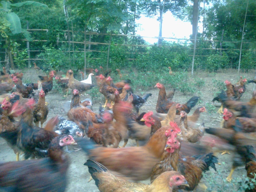 Trang trại gà vườn, chuyên cung cấp gà vườn tại huyện Qùy Hợp - Nghệ An 210