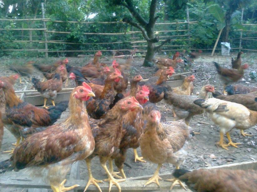 Trang trại gà vườn, chuyên cung cấp gà vườn tại huyện Qùy Hợp - Nghệ An 310