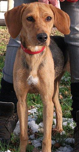 DÉZI, croisée beagle femelle, 2 an (72) Dscf6010