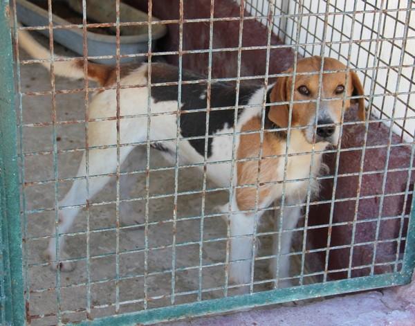 ACTIF, croisé beagle mâle, 11 ans (72) Img_1519