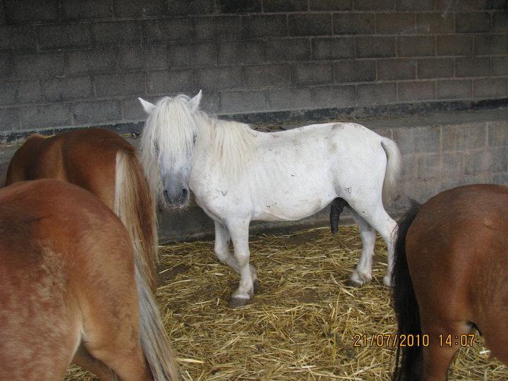 cohabitation chevaux-shetland : est-ce possible ? Shet10