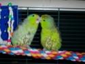 2- Le respect des besoins de nos perruches et perroquets Apras_10